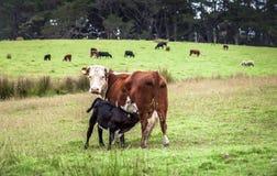 从他的母牛妈妈的小牛饲料 免版税库存图片
