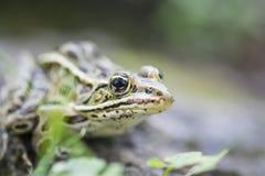 #2的池蛙关闭 库存图片