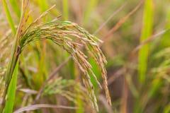 稻的泰国茉莉花米或耳朵的耳朵在一个领域的与毛刺 库存照片