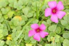 #2的浅粉红色的oxalis花关闭 免版税库存照片