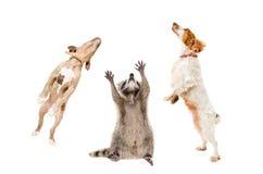 的浣熊和一起跳跃两条的狗 库存图片