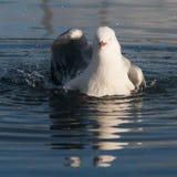 洗浴的海鸥 免版税库存图片