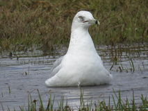 洗浴的海鸥 库存照片