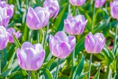轻的淡紫色郁金香宏观射击在春天 免版税库存照片