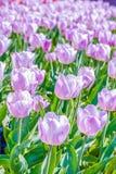 轻的淡紫色郁金香宏观射击在春天 免版税库存图片