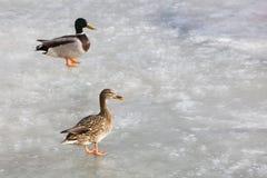 冻结的湖表面上的两只鸭子 库存图片