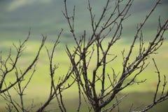 死的灌木有绿色背景 免版税库存图片