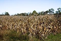 死的玉米田 免版税库存照片