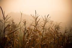 死的玉米-遭受干旱的玉米 库存照片
