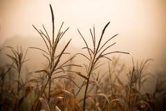 死的玉米-遭受干旱的玉米 免版税图库摄影