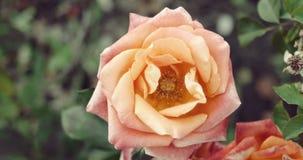 死的玫瑰色花在秋天时间rosegarden 股票录像