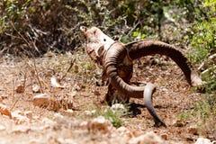 死的男性Kudu的尸体 免版税库存照片