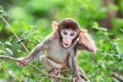 傻的白变种短尾猿在香港 免版税库存照片