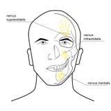头的神经 向量例证