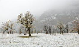 冻结的站立在草甸的world~积雪的槭树 库存图片
