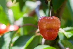 的红色樱桃垂悬在与被弄脏的backgr的一棵树的特写镜头观点 免版税库存照片