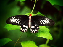 黑的红色蝴蝶 热带昆虫宏指令 五颜六色的动物背景 库存照片