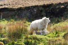 的绵羊和吃草两只的羊羔 库存照片