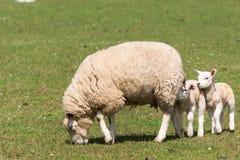 的绵羊和吃草两只的羊羔 免版税图库摄影