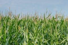 的绿色领域玉米成长在农田里 库存图片