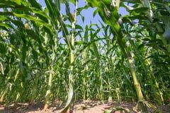 的绿色领域玉米成长在农田里 免版税图库摄影