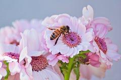 轻的罗莎在与蜂的夏天开花 库存图片