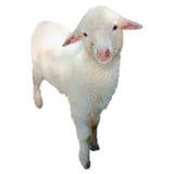 的羊鸣散漫的情况 库存照片
