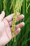 稻的耳朵 免版税库存照片