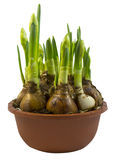 黄水仙的芽 库存图片