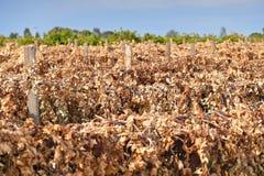 死的苏丹娜葡萄树 免版税库存图片