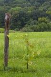 年轻的葡萄树 库存图片