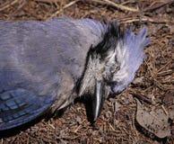 死的蓝色尖嘴鸟面对 免版税库存图片