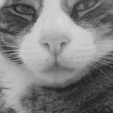 傻的虎斑猫关闭  免版税库存图片