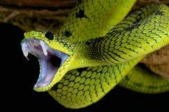 攻击的蛇/大湖蛇蝎/Atheris nitschei 免版税库存图片