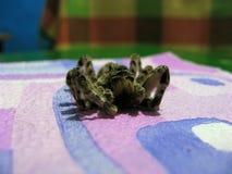 死的蜘蛛塔兰图拉毒蛛囊蜘属Singoriensis 免版税库存图片