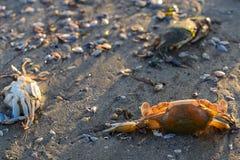 死的螃蟹和海洋生物在海滩 免版税图库摄影