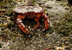 活的螃蟹 免版税库存照片