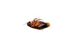 死的蟑螂 免版税图库摄影