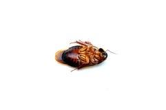 死的蟑螂 库存照片
