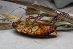 死的蟑螂 库存图片