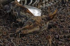 死的袋鼠 库存图片