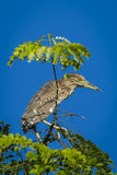 黑的被加冠的夜鹭属 免版税库存图片