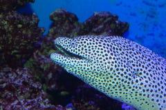 黑的被察觉的海鳗 免版税图库摄影