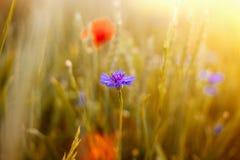 的野生鸦片和轻玉米的花的领域在阳光下 免版税库存图片