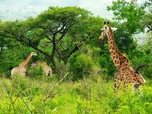 去的长颈鹿吃午餐 库存图片