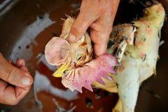 死的雄鸡头为食物切开了在乡下 库存图片