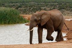 水的非洲人布什大象的没有时间 免版税库存照片