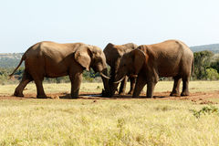 水的非洲人布什大象 免版税库存照片