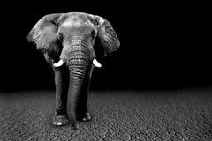 的非洲大象的狂放的图象在非洲 库存图片