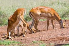 的飞羚女性动物舐食岩盐之盐渍地 库存图片